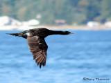 Pelagic Cormorant in flight 1a.jpg