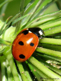 Lady Beetles - Coccinellidae 0f B.C.