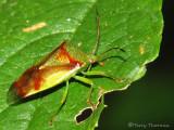 Shield Bugs - Acanthosomatidae of B.C.