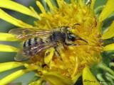 Andrenid Bees - Andrenidae of B.C.