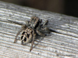 Habronattus americanus - Jumping Spider female 2a.jpg