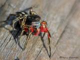 Habronattus americanus - Jumping Spider male 1a.jpg