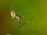 Theridiidae - Cobweb Spider A1a.jpg