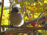 Common Bushtit 1b.jpg