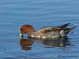 Eurasian Wigeon molting into breeding plumage 3a.jpg