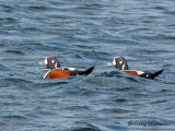 Harlequin Ducks 7b.jpg
