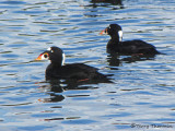 Surf Scoters 5a.jpg