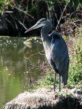 Great Blue Heron 2.jpg