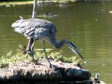 Great Blue Heron 6.jpg