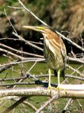 Green Heron immature 2.jpg