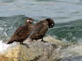 Harlequin Ducks 1.jpg