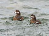 Harlequin Ducks 3.jpg