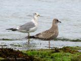 Mew Gull adult and immature.jpg