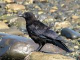 Northwestern Crow 3.jpg