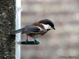 Chestnut-backed Chickadee 1.jpg