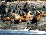 Stellers Sea Lions 4.jpg