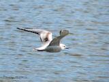 Bonapartes Gull immature in flight 1.jpg