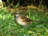 White-throated Sparrow immature 4.jpg