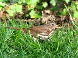 Fox Sparrow 1.jpg