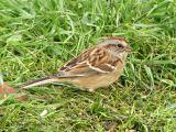 American Tree Sparrow 1.jpg
