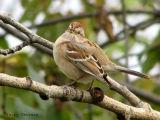 American Tree Sparrow 2.jpg