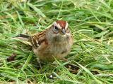 American Tree Sparrow 3.jpg