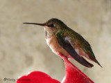 Rufous Hummingbird female 1b.jpg