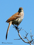 Brown Thrasher 8a.jpg