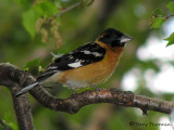 Black-headed Grosbeak 1a.jpg