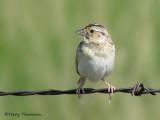 Grasshopper Sparrow 12a.jpg