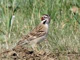 Lark Sparrow 7a.jpg