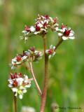 Saxifraga lyallii - Red-stemmed Saxifrage 2.jpg