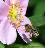 Apis melifera - Honey Bee in flight 1c.jpg