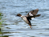 Common Goldeneye female in flight 1a.jpg