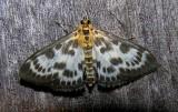 Eurrhypara hortulata - 4952 - Small Magpie Moth