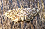 Lygropia rivulalis - 5250 - Bog Lygropia