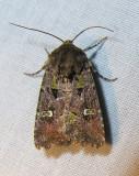 Lacinipolia renigera - 10397 - Bristly Cutworm Moth