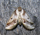 Baileya doubledayi - 8969 - Doubleday's Baileya Moth