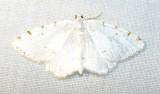 Itame pustularia - 6273 -  Lesser Maple Spanworm Moth