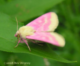 Schinia florida - 11164 - Evening Primrose Moth
