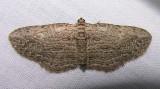 Horisme intestinata - 7445 -- Brown Bark Carpet Moth