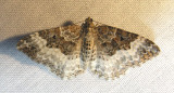 Epirrhoe alternata - 7394 -- White-banded Toothed Carpet Moth
