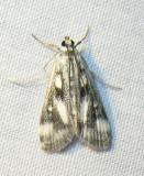 Parapoynx maculalis (?) - 4759 - Polymorphic Pondweed Moth (?)