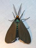 Ctenucha virginica - 8262 - Virginia ctenucha moth