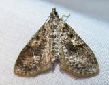 Palpita magniferalis (?) - 5226
