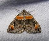 Dysstroma hersiliata - 7189 - Orange-barred Carpet Moth
