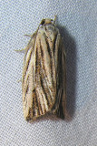 Archips striana -- 3664 -- Striated Tortrix Moth