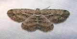 Anavitrinella pampinaria (?) - 6590 -- Common Gray Moth