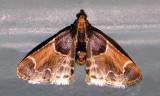 Pyralis farinalis - 5510 -- Meal Moth