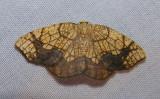 Nematocampa limbata - 7009 - Horned Spanworm Moth